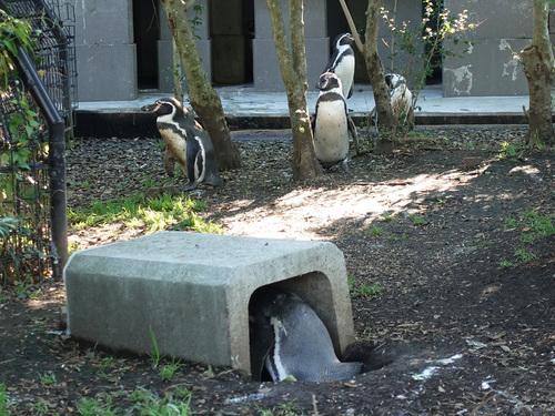20190425 pingouin2.jpg