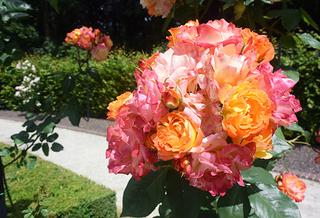 20150701 rose3.jpg