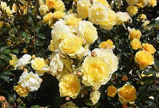 20150701 rose5.jpg