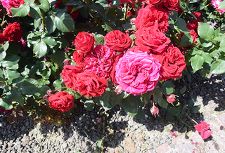 20150701 rose6.jpg