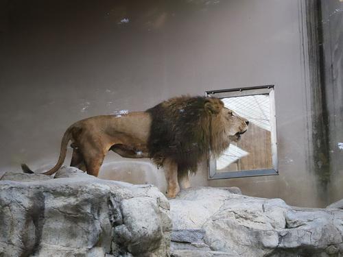 20190811 lion.jpg